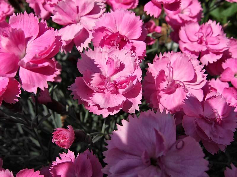 Dianthus gratianopolitanus Hybr. - Pfingst-Nelke