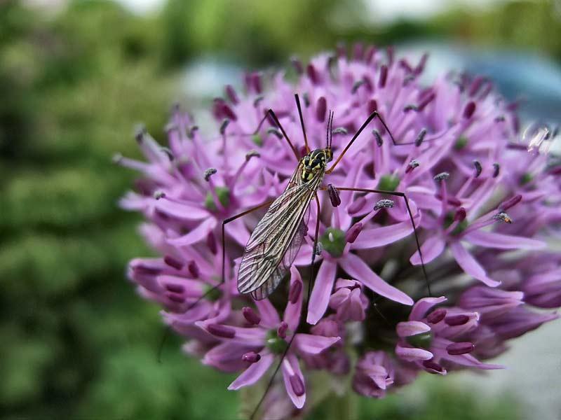 Allium-Globemaster---Zierlauch-1