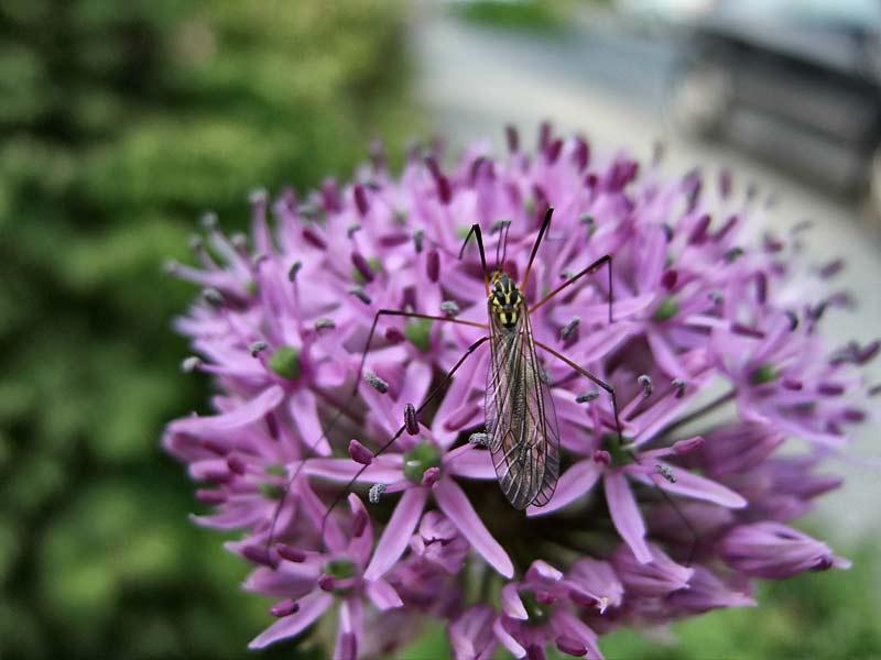Allium-Globemaster---Zierlauch