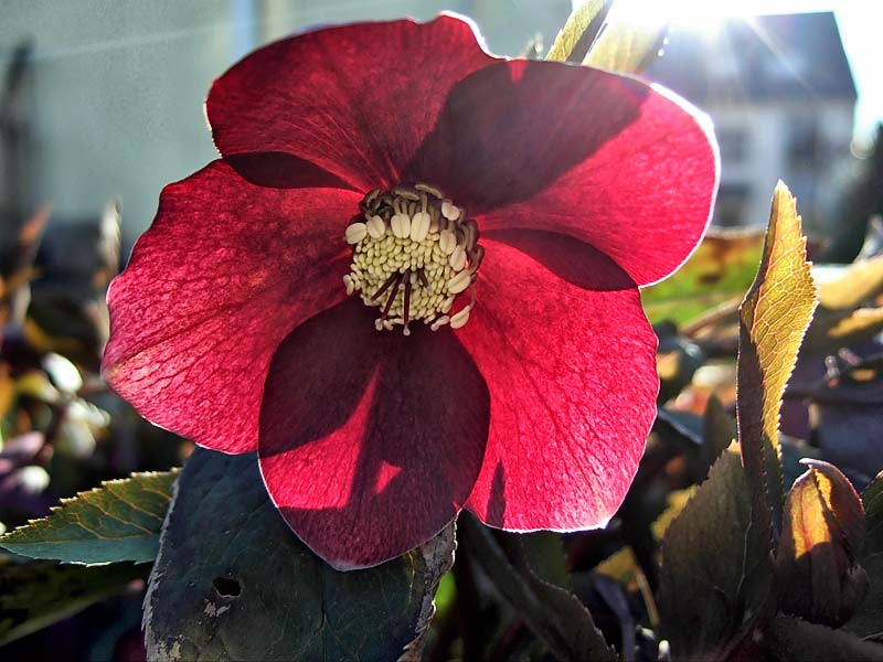 Helleborus-orientalis---Christrose-rot-6