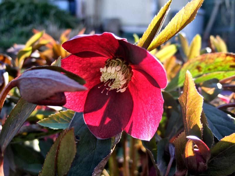 Helleborus-orientalis---Christrose-rot