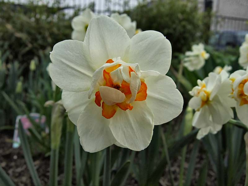 Narcissus-Sorbet---Narzisse