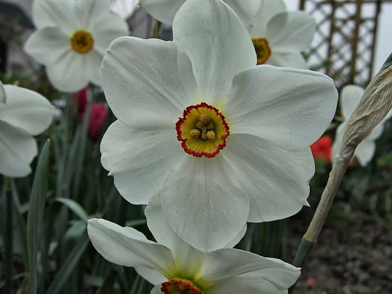 Narcissus-poeticus---Dichternarzisse