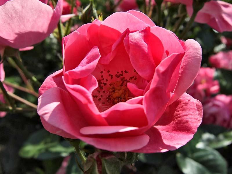 Rosa-'Angela'-2