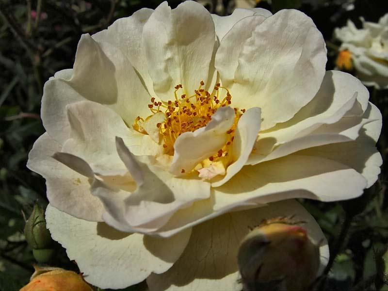 Rosa-'Ghislaine-de-Feligonde'-3