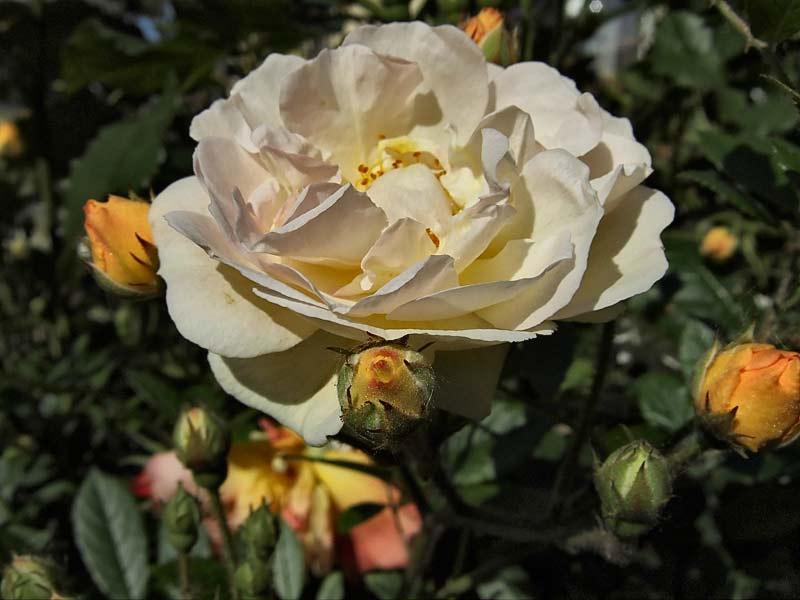 Rosa-'Ghislaine-de-Feligonde'-5