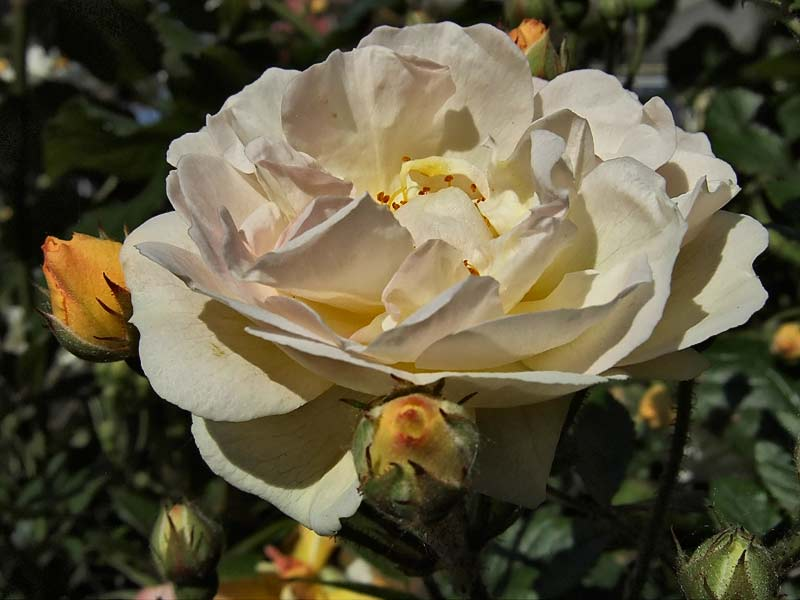 Rosa-'Ghislaine-de-Feligonde'-6