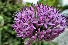 Allium-Globemaster---Zierlauch-4