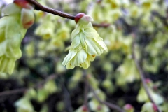 Corylopsis-pauciflora---Scheinhasel