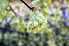 Corylopsis-pauciflora---Scheinhasel-5