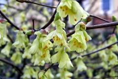 Corylopsis-pauciflora---Scheinhasel-8