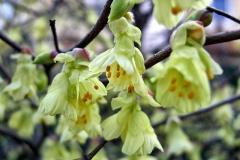 Corylopsis-pauciflora---Scheinhasel-9