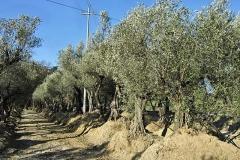 Olea europaea - Olive