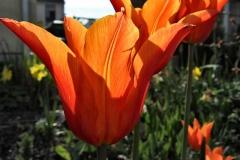 Tulipa 'Ballerina' - Lilienblütige Tulpe