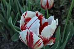 Tulipa 'Grand Perfection' Tulpe