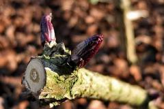 Austrieb von Sambucus nigra 'Black Lace' - Geschlitztblättriger, rotlaubiger Holunder