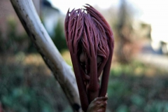 Paeonia suffruticosa - Strauchpfingstrose im Austrieb