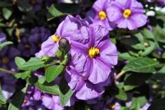 Lycianthes rantonnetii (alter Name: Solanum rantonnetii) - Enzianstrauch