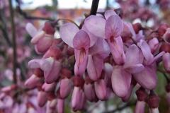 Cercis siliquastrum - Gewöhnlicher Judasbaum