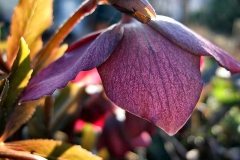 Helleborus-orientalis---Christrose-rot-5