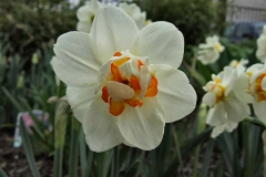 Narcissus-Sorbet---Narzisse