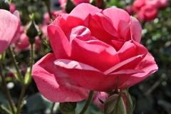 Rosa-'Angela'-3