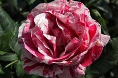 Rosa-'Ferdinand-Picard'