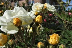 Rosa-'Ghislaine-de-Feligonde'-11
