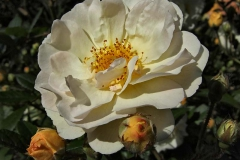 Rosa-'Ghislaine-de-Feligonde'-2