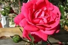 Rosa-'Laguna'-2