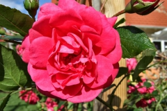 Rosa-'Laguna'-3