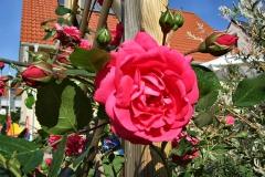 Rosa-'Laguna'-4