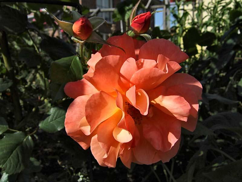 Rosa 'Westerland' - Strauchrose 'Westerland'
